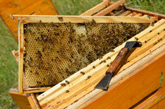 Drone brood. Beehive brood frame with big drone cells wax honeycomb stock image