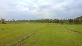 Drone Flies above Green Rice Fields with Grazing Buffaloes. Drone flies above pictorial large green rice fields with grazing buffaloes against trees and cloudy stock footage