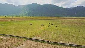 Drone flies above water canal and buffaloes on field stock video footage
