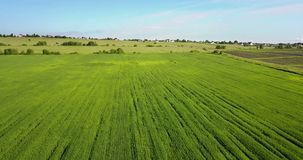 The drone flies along the field with green ears of wheat to summer sunny day against the background of the blue sky with. White clouds stock video footage