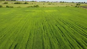 The drone flies along the field with green ears of wheat to summer sunny day against the background of the blue sky with. White clouds stock video