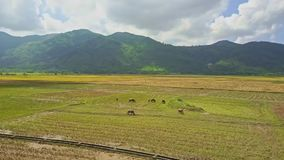 Drone flies from buffalo herd on field across water canal stock video footage
