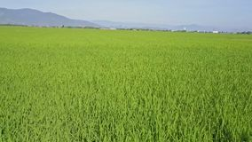 Drone Flies Fast Forward Close to Rice Field against Hills stock footage