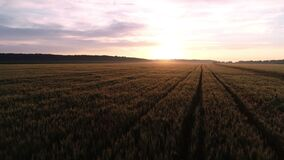 A drone flies over a beautiful wheat field at sunrise.