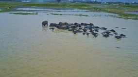 Drone Flies over Buffaloes Herd Bathing in Water by Road stock video