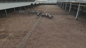 Drone flies over fenced corral with herd of roaming grey sheeps and black lambs stock video footage