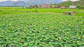 Drone Flies Over Lotus Field against Town and Mountains. Drone flies closely over lake with lotus pink flowers with green round leaves against small town at stock video