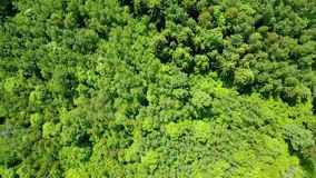 Drone flies over the pine forest stock video