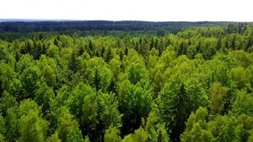 Drone flies over the pine forest stock video footage