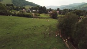 Drone flies over sheep in 4K stock footage