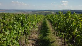 The drone flies through the rows of growing grapes stock video footage