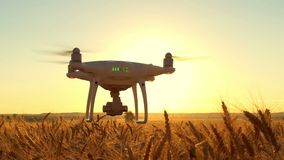 Drone in flight over the ears of wheat against the background of a near sunset. Slow-motion shooting of an unmanned. Aerial vehicle. Slow motion stock footage