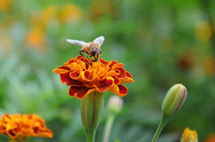 Drone on a flower Royalty Free Stock Image