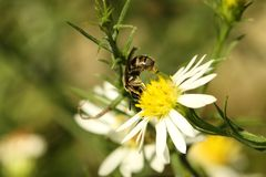 Drone Fly (Eristalis tenax) Royalty Free Stock Image