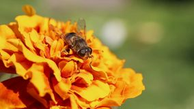 Drone fly /Eristalis tenax/ is on an Mexican marigold /Tagetes erecta/ flower.  stock video