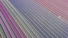 Purple hyacinth field in Netherlands. drone fly stock video footage