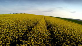 Drone flying above rapeseed fields