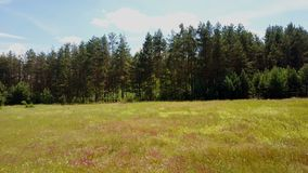 Drone flying fast forward, rising above lush meadow. Aerial shot of summer field and evergreen forest. Treetops. 4K. Drone flying fast forward, rising above stock video footage