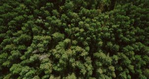 Drone flying forward above beautiful green forest. Aerial 4K flyover topview shot of early autumn treetops. Drone flying forward above beautiful forest treetops stock video