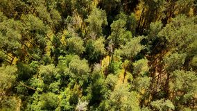 Drone flying forward over sunny green forest. Aerial flyover shot of warm summer mixed treetops texture. Topview 4K. Birds eye view of scenic wilderness stock video