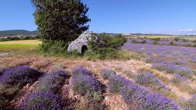 Drone flying over lavender enters a ruined stone construction. stock video footage