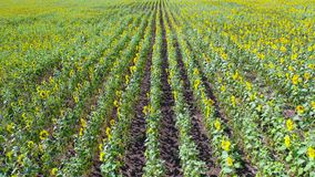 Drone flying over sunflower field stock footage