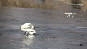 Drone flying and take photo pair white swans on spring  ice. Drone flying and take photo pair white swans Cygnus olor  on spring  ice stock footage