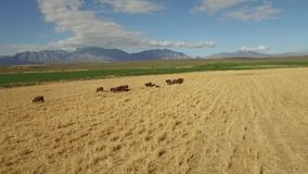 Drone footage of cows grazing stock video