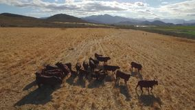 Drone footage of cows grazing stock video footage