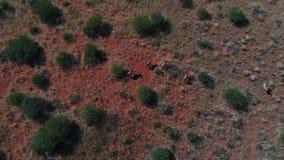 Drone footage following wild game in the kalahari desert stock video