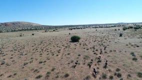 Drone footage following wild game in the kalahari desert stock video footage