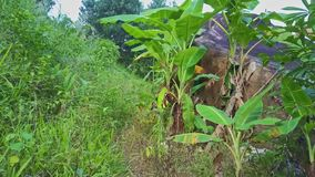 Drone motion through tropical plants grass young growing palm. Drone motion through lush tropical plants high grass young growing palm trees with large stone on stock footage