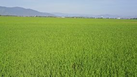 Drone Moves Fast Backward Close to Rice Field against Hills stock video footage