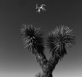 Drone over Joshua Tree. Drone hovering over Joshua tree in Mojave Desert stock images