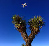 Drone over Joshua Tree. Drone hovering over Joshua tree in Mojave Desert royalty free stock photos