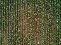 Drone pov of corn maize field stock photo
