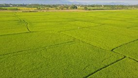 Drone removes from small figure among green rice fields. Drone camera removes from small figure in white among green rice fields against trees distant mountains stock video