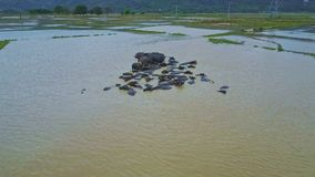 Drone Rotates above Buffaloes in Dirty Water by Village stock footage