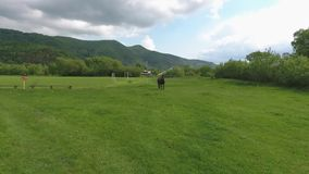 Pasture of a Horse Outdoors. Drone shoots  a pasture of a horse on a leash, on a green lawn. On the second plan are the houses in greens.Football field  at the stock video footage
