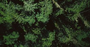 Drone slowly rising up above calm green forest. Aerial 4K vertical top view shot of beautiful evergreen pine treetops. Drone slowly rising up above magnificent stock footage