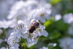 Drone, sucking nectar from the flowers of hawthorn Stock Photos