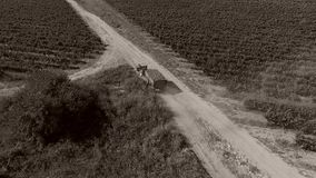 Truck among rows of vineyard before harvesting. Drone tracking a truck full of grapes driving among vineyard stock footage