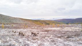 Drone view of reindeer on a snowy mountain in taiga. Khuvsgol, Mongolia Stock Image
