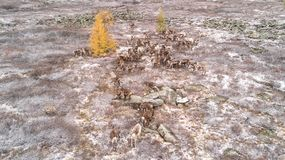 Drone view of reindeer on a snowy mountain in taiga. Khuvsgol, Mongolia Royalty Free Stock Images