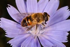 Dronefly Royalty-vrije Stock Afbeeldingen