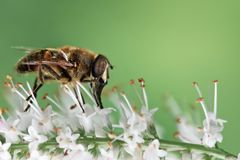 Dronefly pollination Royalty Free Stock Photography