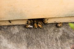 Bees At Hive. Drones and worker bees at the entrance of a hive Stock Images