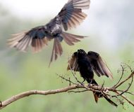 Drongo stock photography