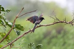 Drongo stock photo