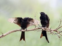 Drongo stock photos